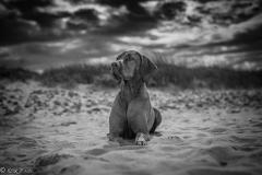 #501 Hund_Magyar_Viszla