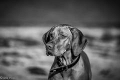 #502 Hund_Magyar_Viszla
