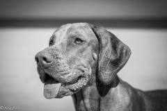 #503 Hund_Magyar_Viszla
