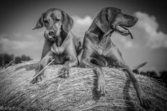 #504 Hund_Magyar_Viszla